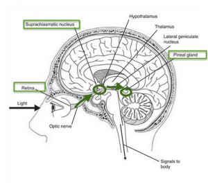 light pathways to pineal