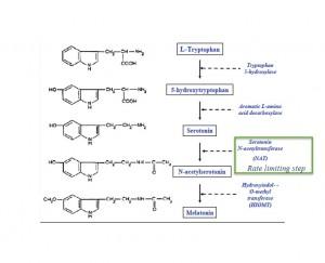 melatonin synthesis